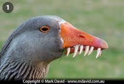 goose with teeth.jpeg