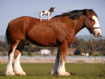 Chihuahua on a horse